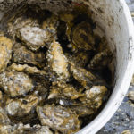 fanny bay oyster